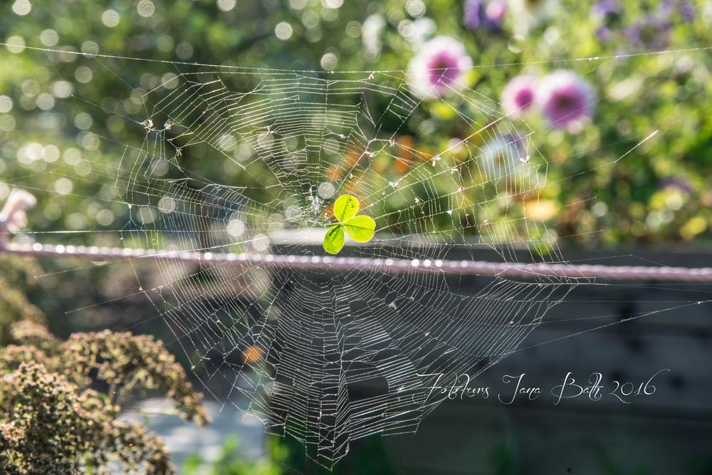 Spinnennetz mit Kleeblatt
