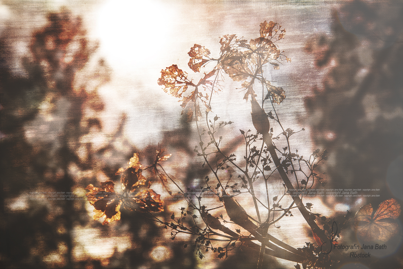 Verblühte Hortensie mit Künstlertextur - Foto & Textur Jana Bath